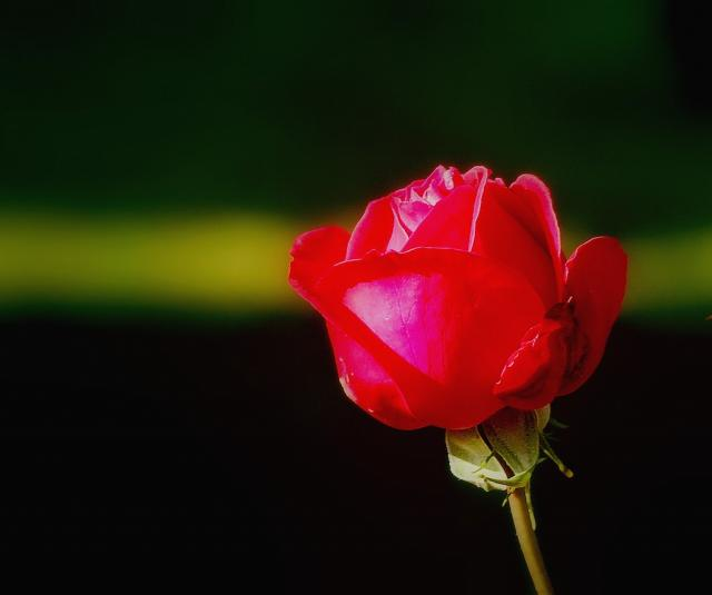 small red rose hires p hd, Beautiful flower