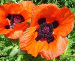 red poppies with dark centers.jpg