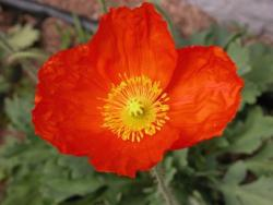 red California Poppy.jpg