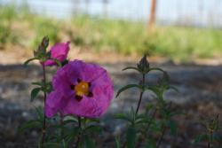 purple pink poppy flower picture.jpg