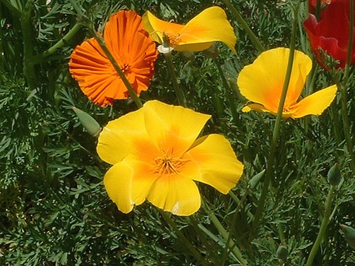 Poppy Yellow Garden Flowers Jpg