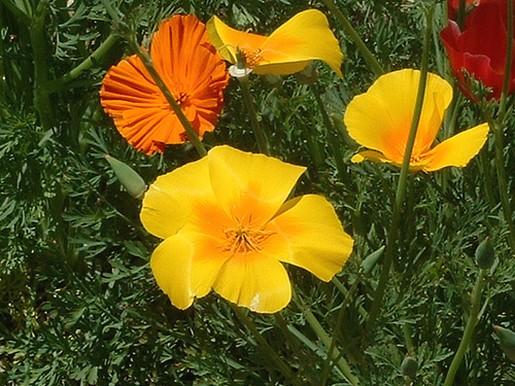 poppy yellow garden flowersjpg