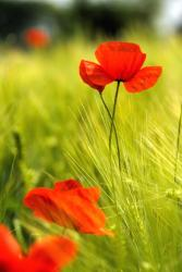 poppy summer flower in bright red.jpg