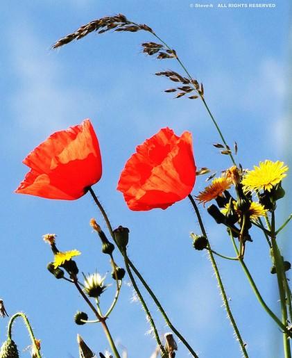poppy flower pics.jpg