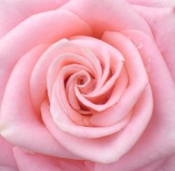 peach rose close up photo.jpg