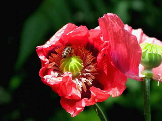 Poppy Flower Pic With Green Hi Res 720p Hd