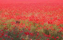 Poppy Field_red flower field.jpg
