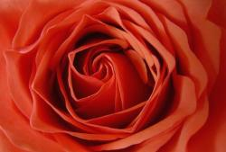 orangy red rose.jpg