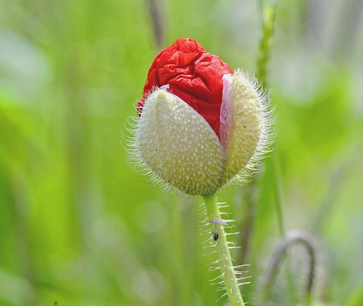 Poppy bud photo.jpg