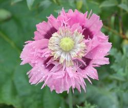 pink poppy with reindrops photo.jpg
