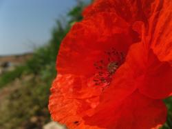 pictures of poppy flower.jpg