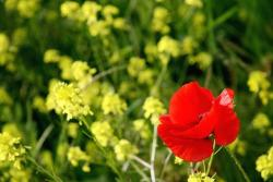picture of red poppy picture.jpg