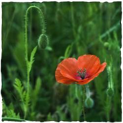 picture of poppy in orange red.jpg