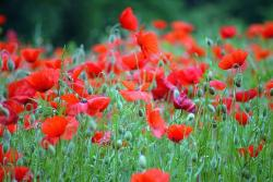 picture of poppy flowers.jpg