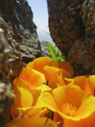 picture of bright orange poppies growing between rocks.jpg