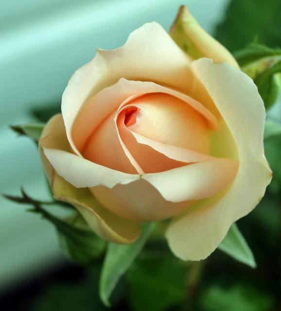 light pink rose.jpg