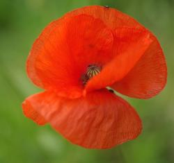 picture of a poppy flower.jpg