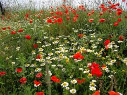 photo of daisies and poppies flowers.jpg