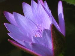 purple lotus in the morning sunlight
