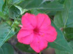 pink flower blooms in the evening with soft smell.