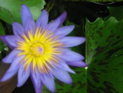 purple lotus in its full bloom.
