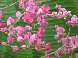 pink vine and green banana leaf