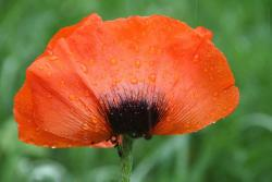 orange red poppy.jpg