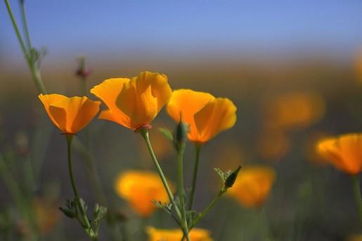 Orange poppy flowersg mightylinksfo