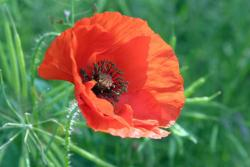 orange poppy flower.jpg