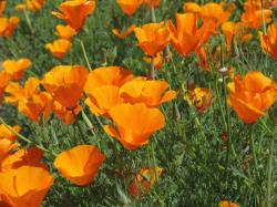 orange poppy flower photos.jpg