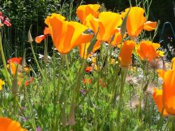 orange poppies with other flowers.jpg
