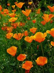 orange California Poppies.jpg