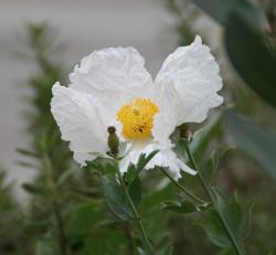 Matilija Poppy photo.jpg