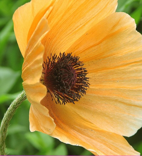 Light Orange Poppy Flower Pictures Jpg