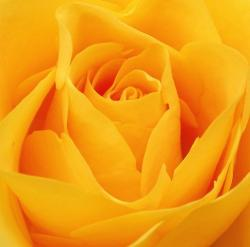 bright yellow rose.jpg