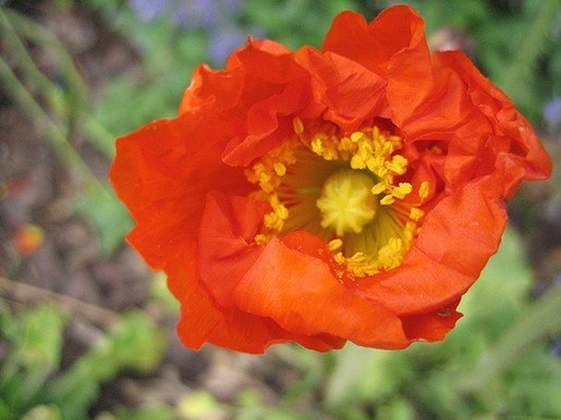 Iceland poppy picture.jpg