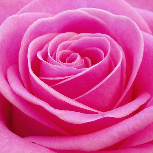 beautiful pink roses pictures  pink wallpaper designs, Beautiful flower
