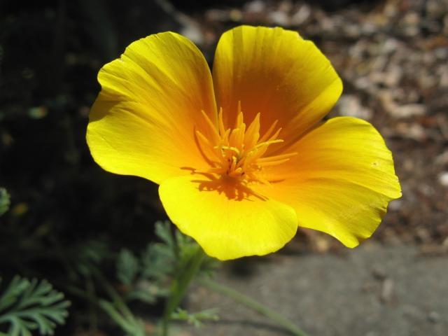 Golden poppy flower photog hi res 720p hd golden poppy flower photog mightylinksfo