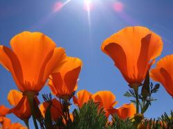 Golden Poppies photo.jpg