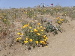 golden poppies on beach.jpg