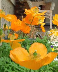 golden orange poppies.jpg