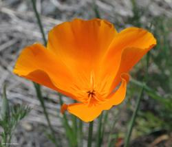 golden orange California poppy.jpg