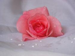 pinkish peach rose.jpg