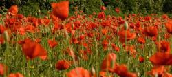flowers field with poppies.jpg