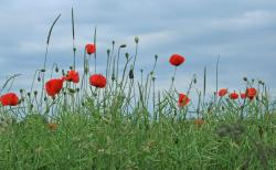field poppy flowers.jpg