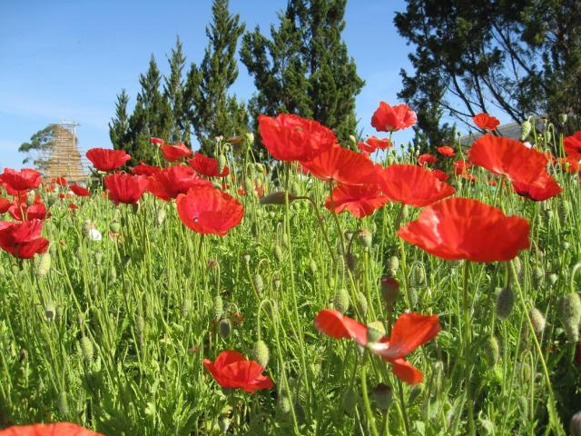 field poppies picture.jpg