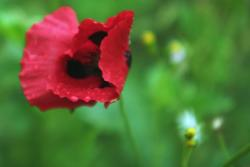 dark red poppy flower.jpg