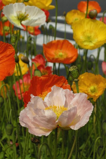 colorful poppies picture.jpg