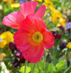 color poppies photo.jpg