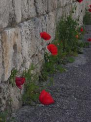 city poppy flowers picture.jpg